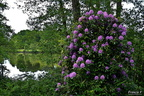 Rhododendron aux Mille-Etangs.